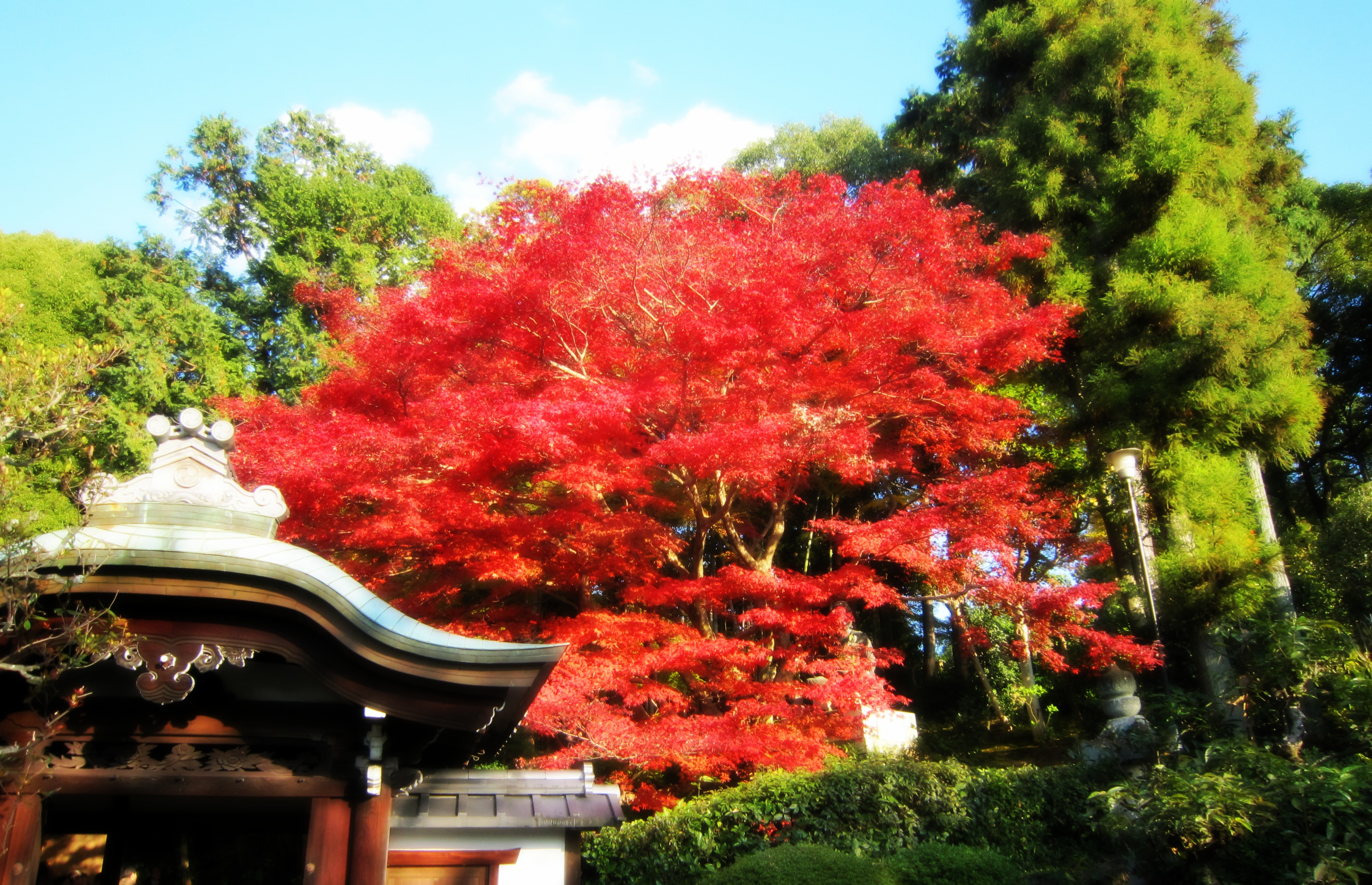 Giappone raccontando dal giappone for Acero giapponese nano